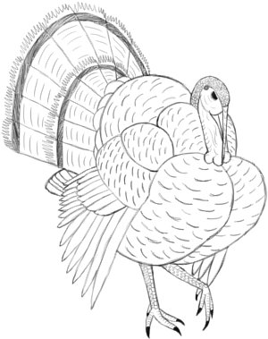 7+ Steps to Know How to Draw a Turkey In 2021