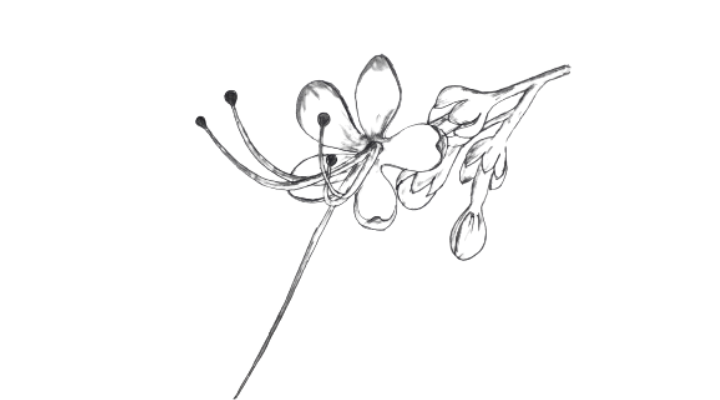 draw pagoda flower (Clerodendrum)