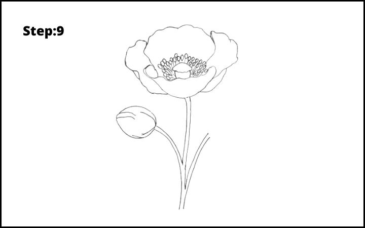 how to draw a realistic poppy  flower step 9