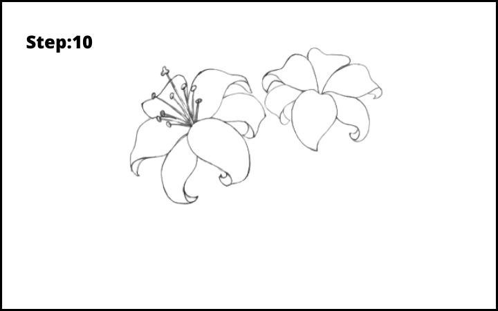 lily flower drawing step 10