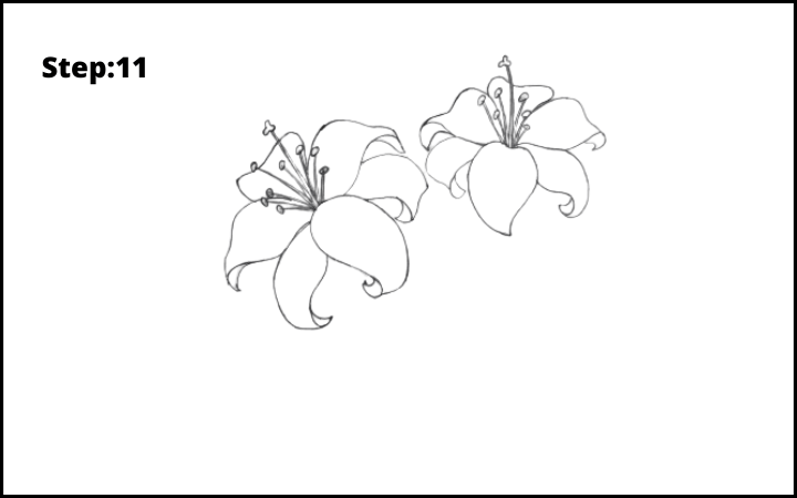 lily flower drawing step 11