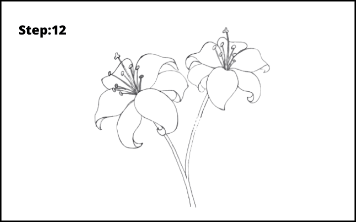lily flower drawing step 12