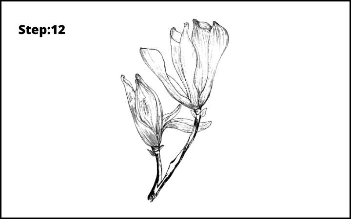 how to draw a magnolia flower step 12, how to draw magnolia flower step by step , how to draw  magnolia flower ,  draw a magnolia flower by pencil
