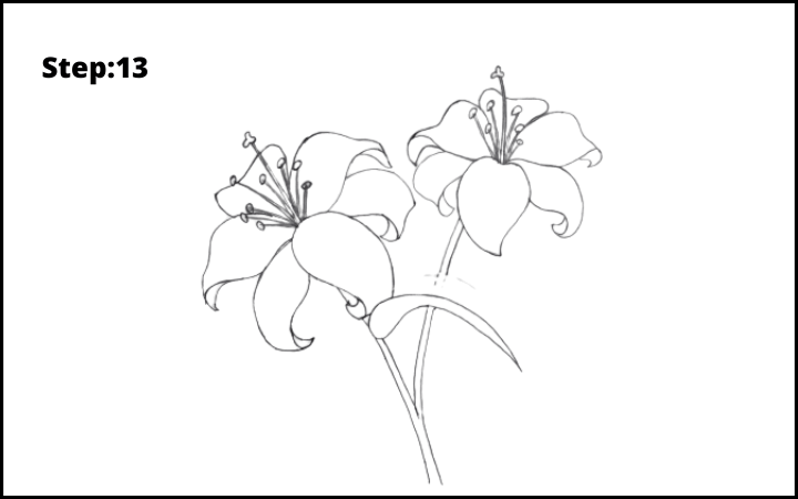 lily flower drawing step 13