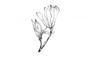 draw a magnolia flower, magnolia flower drawing