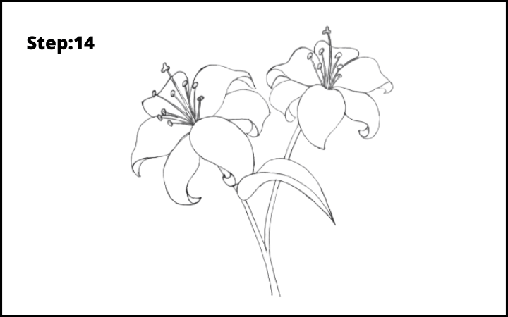 lily flower drawing step 14