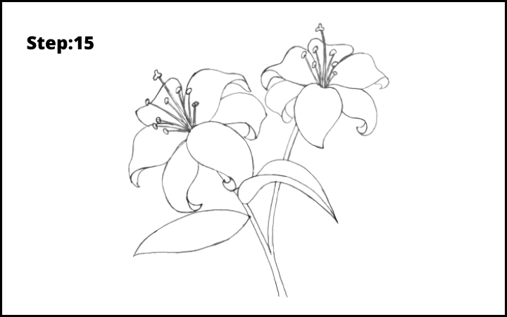 lily flower drawing step 15