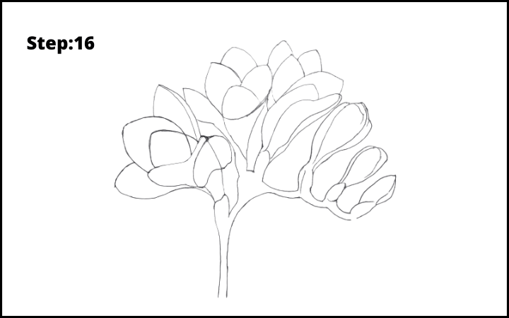 How to Draw Freesia Flower step 16