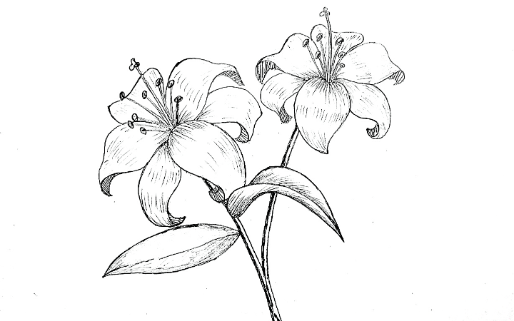 lily flower drawing, How to draw a lily flower step by step