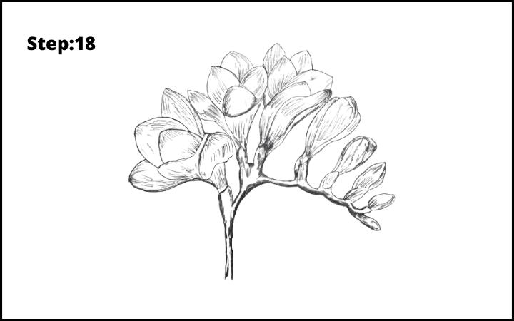 How to Draw Freesia Flower step 18