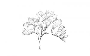 Draw Freesia Flower