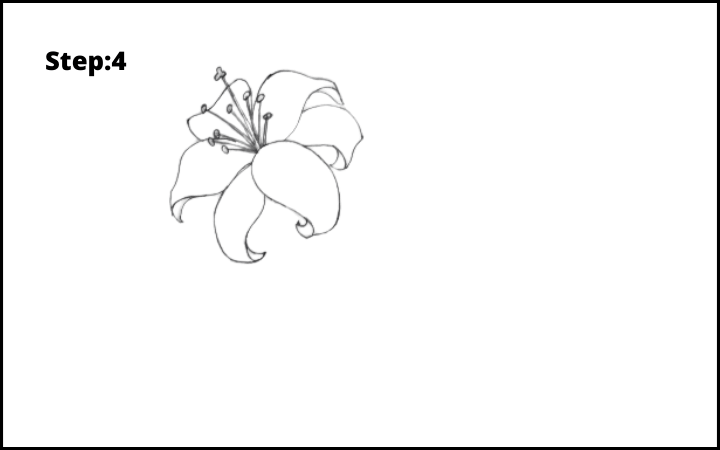 lily flower drawing step 4