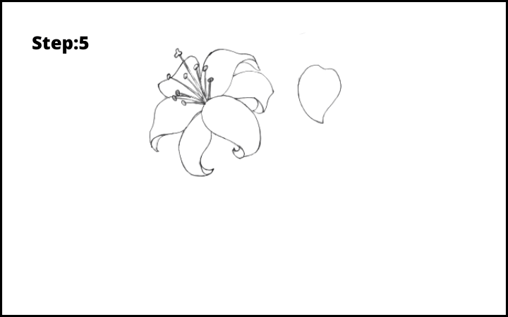 lily flower drawing step 5