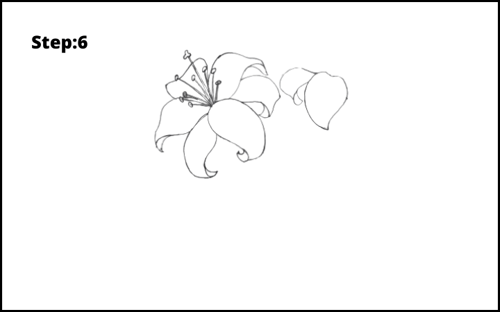 lily flower drawing step 6