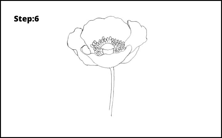 how to draw a realistic poppy step 6