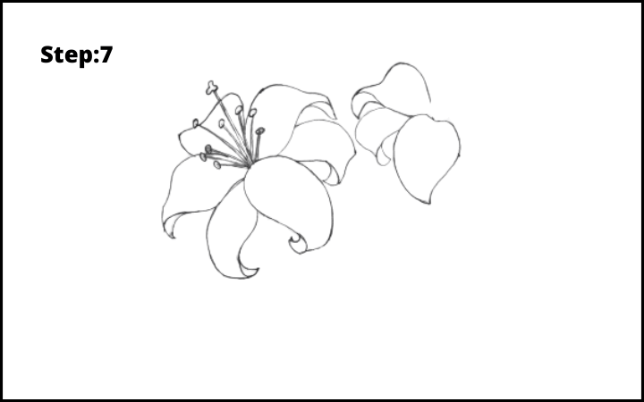lily flower drawing step 7