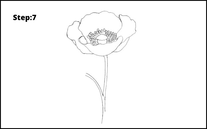 how to draw a realistic poppy  flower step 7