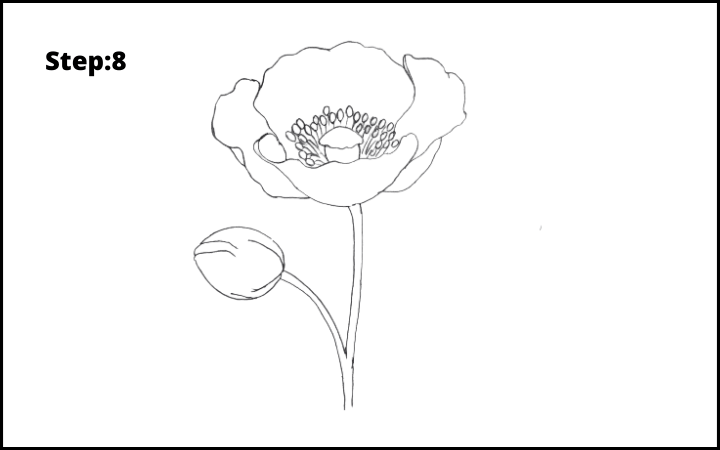 how to draw a realistic poppy  flower step 8