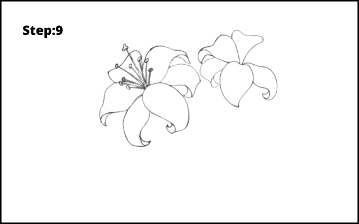 lily flower drawing step 9