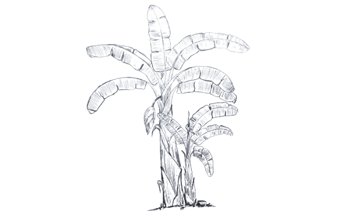 How to Draw Banana Tree for Grownup Artist